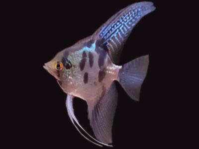 blue-leopard-angelfish