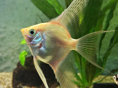 blushing-angelfish