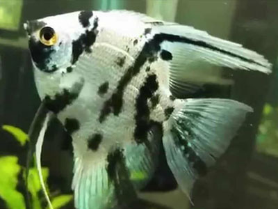 clown-angelfish