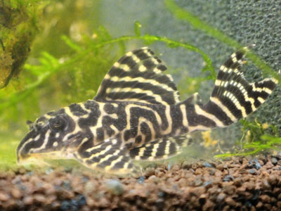 clown-pleco-fish