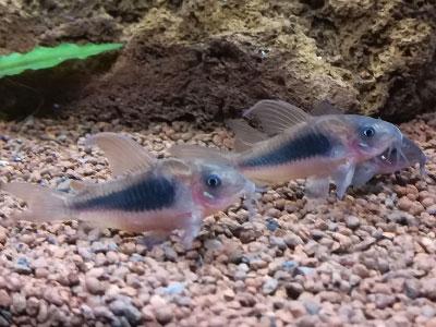 cory-catfish-aquarium-bottom-cleaner
