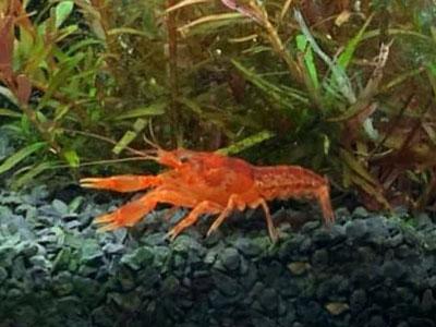 crayfish-aquarium-bottom-cleaner