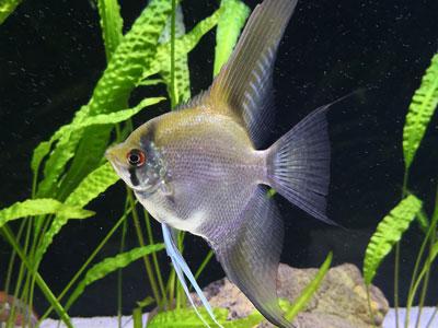 ghost-angelfish