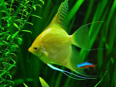 gold-angelfish