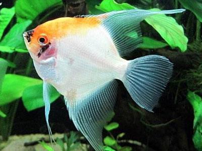 koi-angelfish