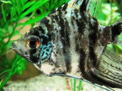 marble-angelfish