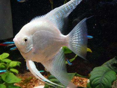 platinum-angelfish