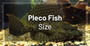 pleco-fish-size