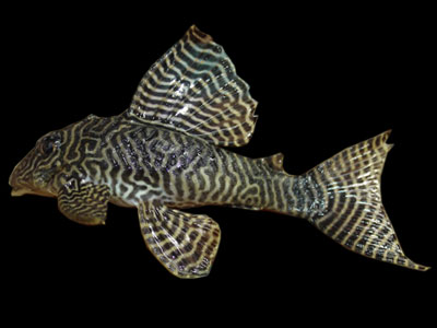 queen-arabesque-pleco-fish