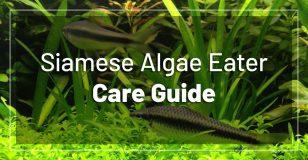 siamese-algae-eater-care