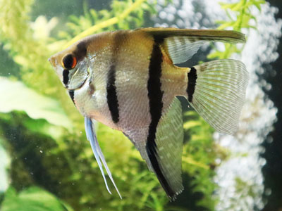 silver-angelfish