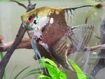 smokey-angelfish