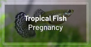 tropical-fish-pregnancy