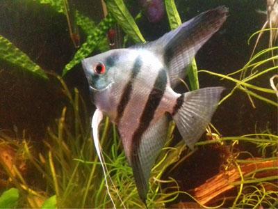 zebra-angelfish