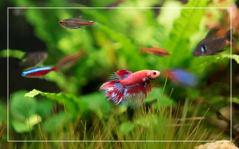 25 Best Freshwater Aquarium Fish Species With Pictures