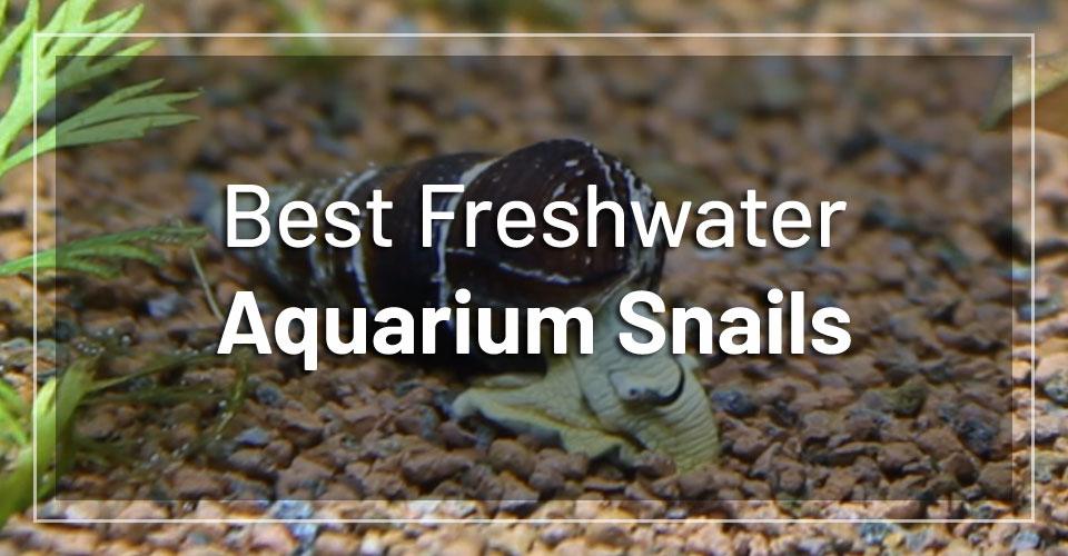 best-freshwater-aquarium-snails
