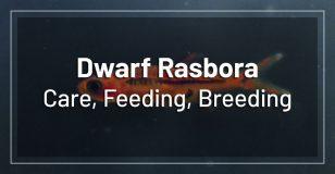 dwarf-mosquito-chili-rasbora