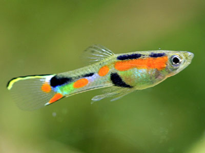 endler-guppy