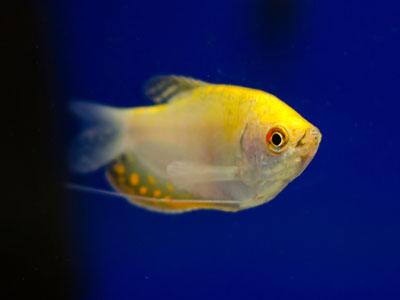 Gourami Fish