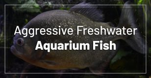 most-aggressive-freshwater-aquarium-fish