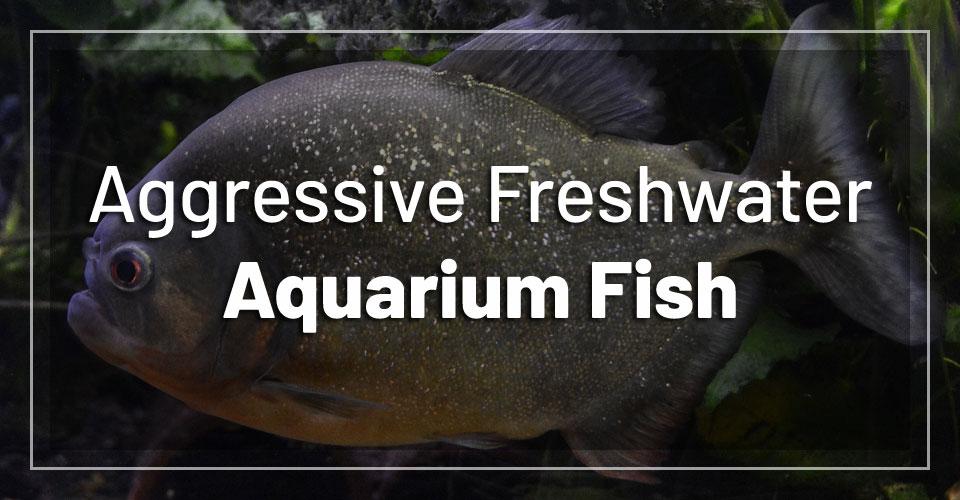 most-aggressive-freshwater-aquarium-fish