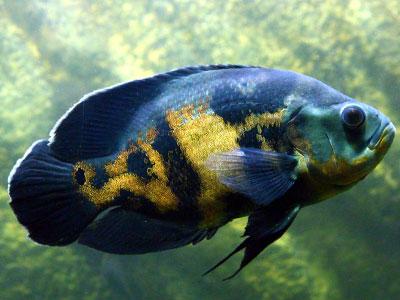 oscar-fish