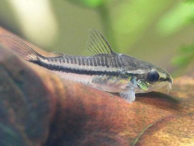 pygmy-corydoras