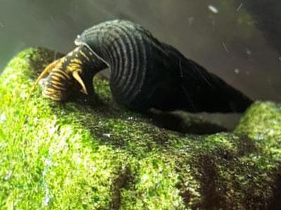 rabbit-snail-tylomelania-sp-sulawesi