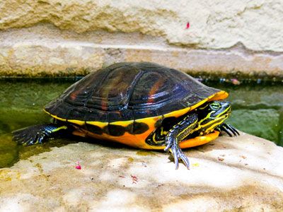 Minimum Tank Size for Turtle