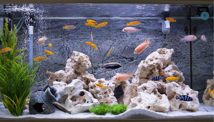 african cichlids aquarium