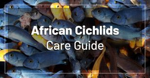 african-cichlids-care
