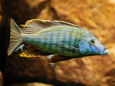 African Cichlid Water Parameters