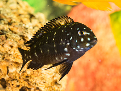 African Cichlid Aquarium Requirements