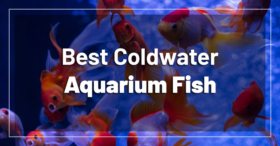 best-coldwater-aquarium-fish