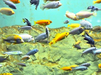 Feeding African Cichlids