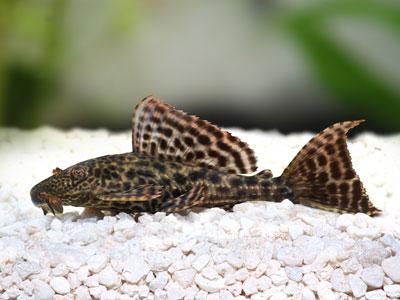 Pleco Fish