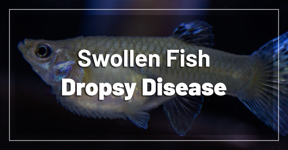 swollen-fish-dropsy-disease