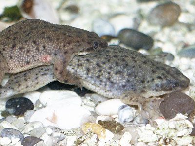 How do African Dwarf Frogs Breed?
