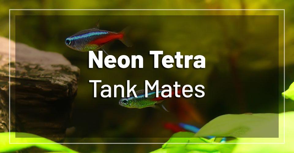 best-neon-tetra-tank-mates