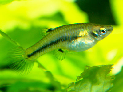 Breeding Least Killifish