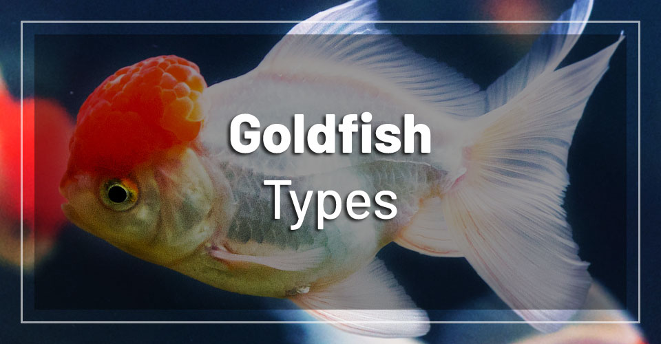15 Amazing Types Of Goldfish With Pictures