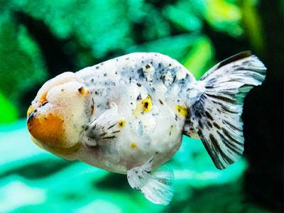 Lionchu Goldfish