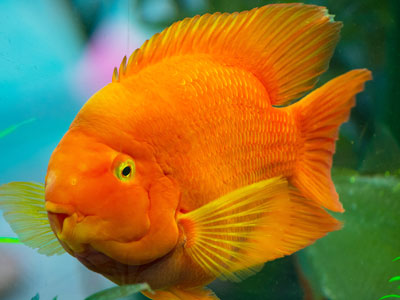 Blood-Red Parrot Cichlid