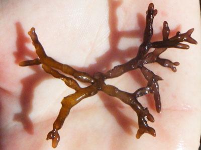 Brown Gracilaria