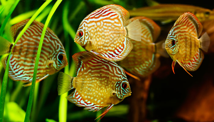 Discus Fish Water Parameters