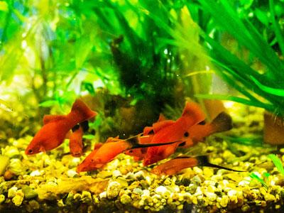 Feeding Swordtail Fish
