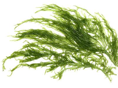 Green Gracilaria