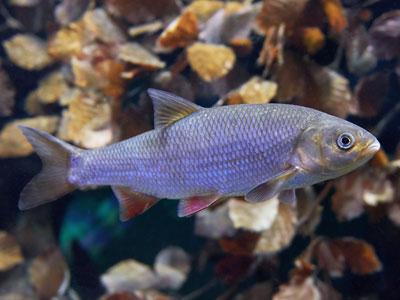Orfe Fish