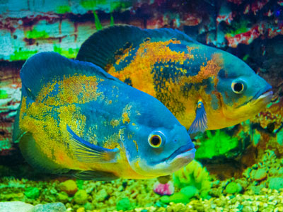Breeding Oscars in Aquarium