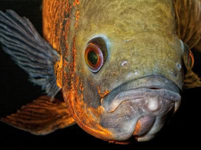 Oscar Fish Common Diseases & Treatments
